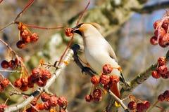 Waxwing som äter bär med, vinteröverlevnad, flockar av fåglar, matande fåglar Royaltyfri Foto
