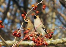 Waxwing som äter bär med, vinteröverlevnad, flockar av fåglar, matande fåglar Arkivfoton