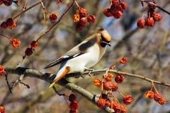 Waxwing som äter bär med, vinteröverlevnad, flockar av fåglar, matande fåglar Royaltyfria Foton