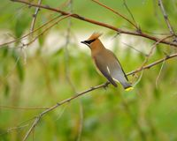 WaxWing sur un branchement Photos stock