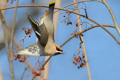 Waxwing takeoff from rowan-tree Stock Image