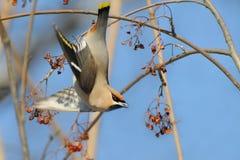 Waxwing takeoff from rowan-tree Stock Image