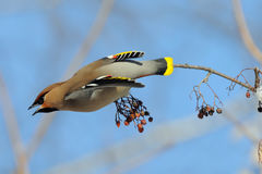 Waxwing takeoff from rowan-tree Royalty Free Stock Photo