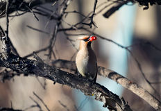 Waxwing at the tree. Beautiful bird Waxwing eating berry at branch of the tree in the forest Royalty Free Stock Photo