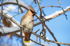 Waxwing at the tree. Beautiful bird Waxwing sitting at snowy branch of the tree in the Park Royalty Free Stock Photos