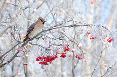 Waxwing on tree branch Royalty Free Stock Photo