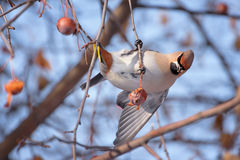 Waxwing on a Tree Trunk Stock Photography