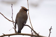 Waxwing on tree. At winter garden Stock Image