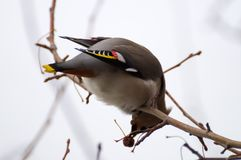 Waxwing on tree. At winter garden Royalty Free Stock Photos