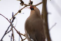 Waxwing on tree. At winter garden Royalty Free Stock Image