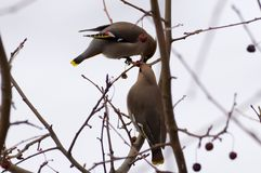 Waxwing on tree. At winter garden Stock Photography