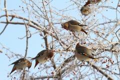Waxwing. Vlucht van vogels op een tak Royalty-vrije Stock Afbeeldingen