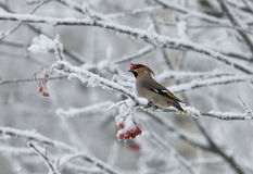 Waxwing in winter Stock Photography