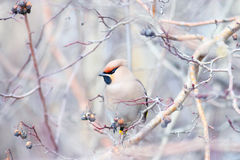 Waxwing on winter branches Royalty Free Stock Photos