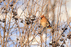 Waxwing in the winter Royalty Free Stock Images