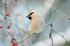 Waxwing winter small bird. In forest Royalty Free Stock Image