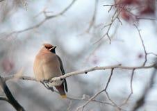 Waxwingen på vinter förgrena sig Royaltyfri Bild