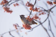 Waxwings στον κλάδο του Ashberry Στοκ Φωτογραφίες