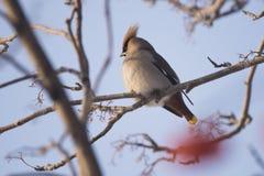 Waxwings στον κλάδο του Ashberry Στοκ εικόνες με δικαίωμα ελεύθερης χρήσης