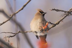 Waxwings στον κλάδο του Ashberry Στοκ Εικόνες
