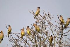 Waxwings кедра в чуть-чуть дереве Стоковая Фотография
