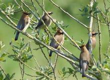 Waxwings кедра - cedrorum Bombycilla Стоковые Фотографии RF