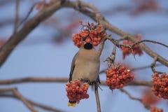Waxwings на ветви Ashberry Стоковые Фото