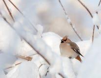 Waxwings на покрытых снег ветвях Стоковые Изображения