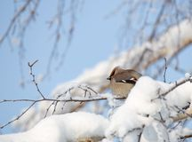 Waxwings на покрытых снег ветвях Стоковые Фотографии RF