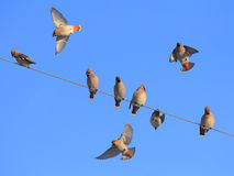 Waxwings Lizenzfreies Stockfoto