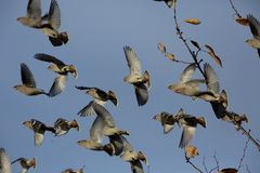 waxwings Royaltyfri Foto