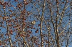 waxwings Στοκ Φωτογραφίες