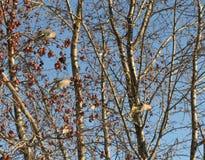 waxwings Στοκ Φωτογραφία