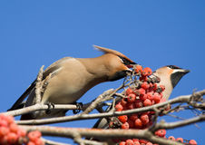 Waxwings on branch of mountain ash Royalty Free Stock Photography