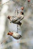 Waxwings de los pájaros que comen manzanas en el parque que se sienta en una rama Foto de archivo