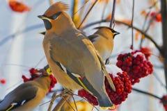 Los Waxwings brillantes de los pájaros en un serbal ramifican con el r Fotografía de archivo