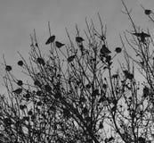 Waxwings della Boemia Fotografia Stock