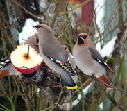 Waxwings. Eating an apple in a garden Royalty Free Stock Photo