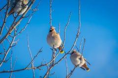 Waxwings en árbol del invierno foto de archivo