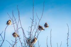 Waxwings en árbol del invierno fotos de archivo libres de regalías