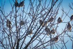 Waxwings en árbol del invierno imagenes de archivo