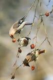 Waxwings engraçados dos pássaros que comem maçãs no parque que senta-se em um farelo Fotos de Stock