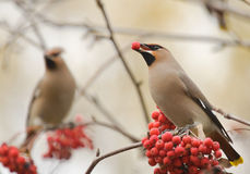 Waxwings with mountain ash Stock Photo