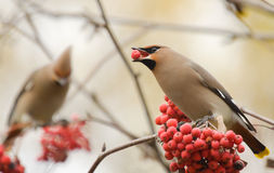 Waxwings with mountain ash Stock Photography