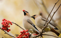 Waxwings with mountain ash Stock Images
