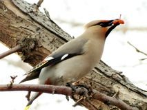 Waxwings On Feeding Stock Images