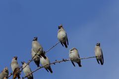 Waxwings Royalty Free Stock Photography