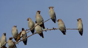 Waxwings Stock Image