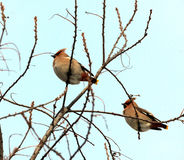 Waxwings Stock Photos