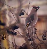 Waxwings sull'inverno di aronia melanocarpa Fotografia Stock